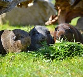 Meerschweinchen im Gras