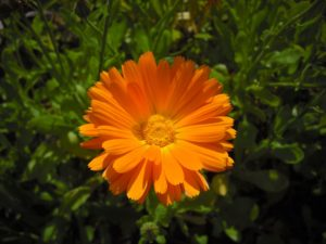 Ringelblume zur Versorgung von Wunden