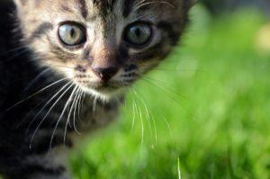 Katze Mimik Schnurrhaare aufmerksam