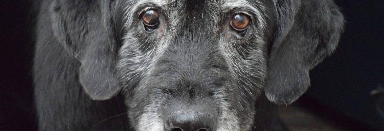 Hunde-Senior - wird er bald sterben?