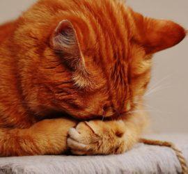 Urolithiasis bei Katzen