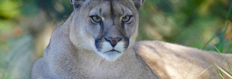 Krafttier Puma